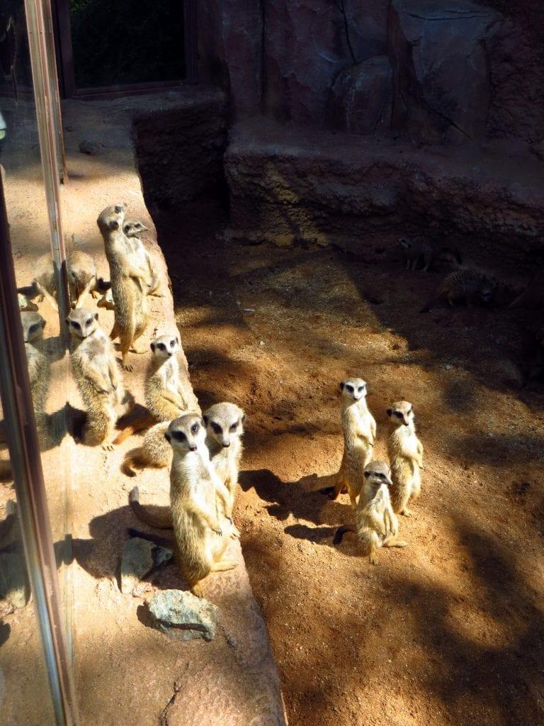 Nezapomeňte pozdravit rodinku surikat nacházející se uprostřed Zoo Brno.