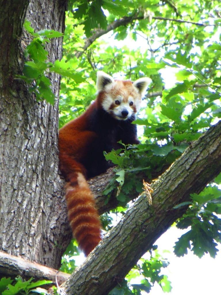V Zoo Brno pohlédnete do očí i roztomilým pandám červeným.