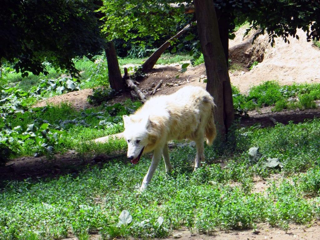Vlků je v Zoo Brno celá rodinka.